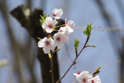 文化会館駐車場の桜