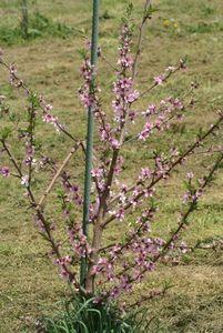 若い桃の木